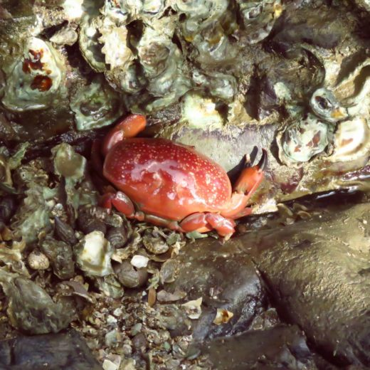 Red Egg Crab