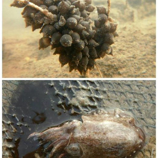 Cuttlefish & eggs