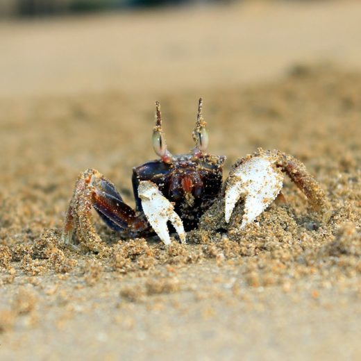 Ghost crab from Girgaon Chowpatty