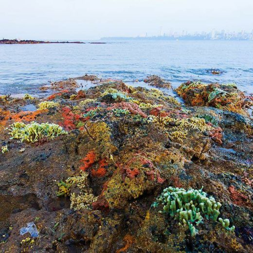 A garden of sponges at Marine Drive during low tide.