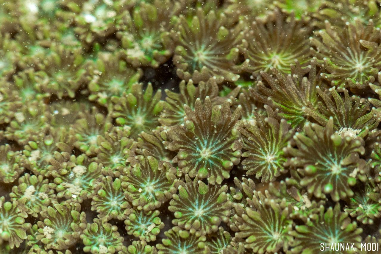 Goniopora coral in Mumbai